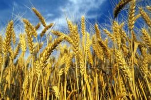 Il caso. Economia in crisi: se l'Italia perde (anche) la battaglia del grano