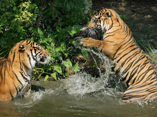 kampf_der_tiger