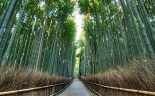 Giappone. Arashiyama, la magia della foresta di bambù e l'uomo che cerca la sua via
